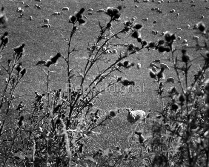 Looking past thistles to sheep in a field. - Paul Carter - 1998-03-06