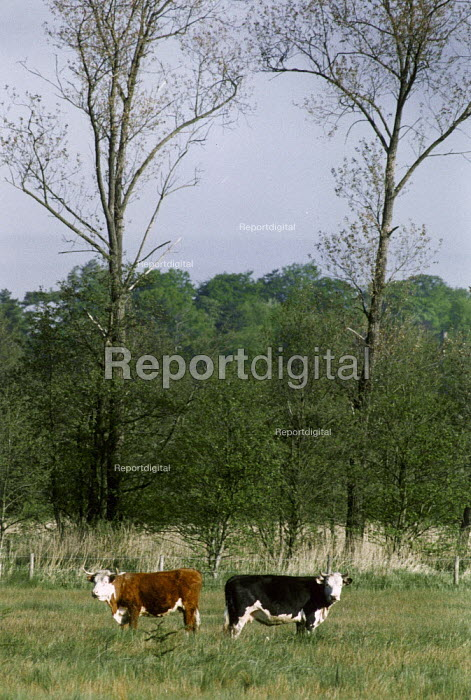 Two cows in a field, part of traditional management of water meadows on a nature reserve. - Paul Carter - 1994-05-07