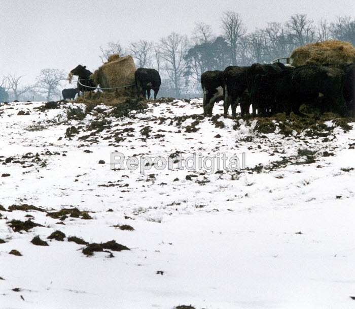 Cows feeding on hay in a snow covered field. - Paul Carter - 1994-02-16
