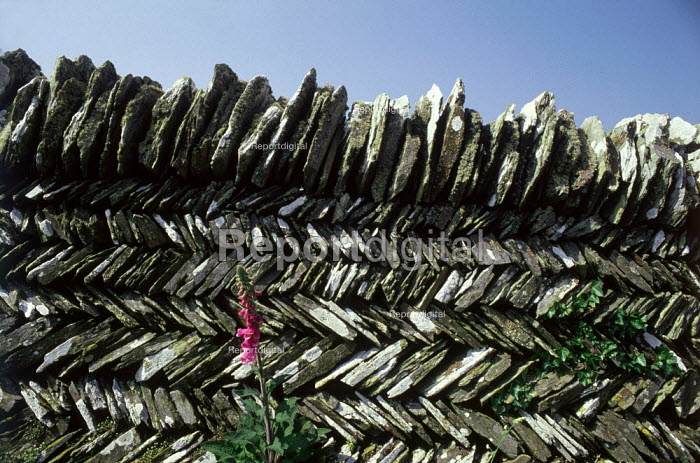 Foxglove growing in front of a dry stone wall. - Paul Carter - 1989-05-01