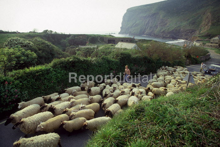 Sheep being herded along a small country road next to the coast. - Paul Carter - 1989-05-01