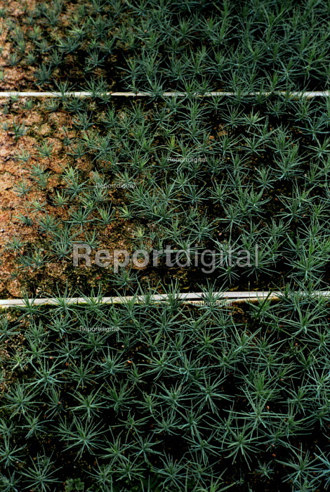 Conifer seedlings growing in Forestry Commission polytunnels. Thetford Forest, East Anglia. - Paul Carter - 1980-09-01