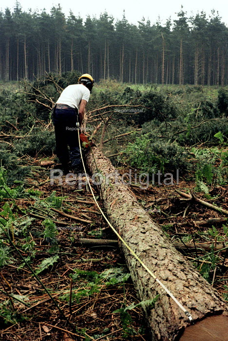 Forestry Commission worker trimming a felled tree with a chainsaw in Thetford Forest, East Anglia. - Paul Carter - 1980-09-01