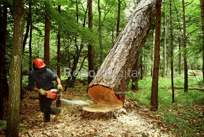 Forestry worker felling a Dougals Fir tree, The New Forest. - Paul Carter - 1995-07-18