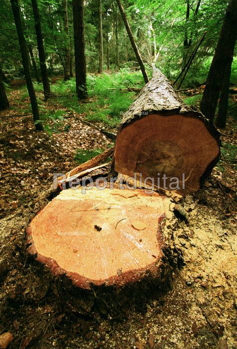 A felled Dougals Fir tree, The New Forest. - Paul Carter - 1995-07-18