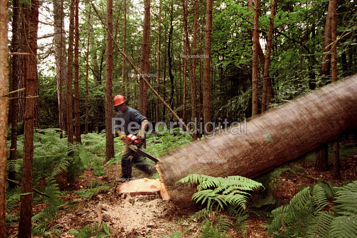 Forestry worker moving away from the Dougals Fir tree that he has just felled. The New Forest. - Paul Carter - 1995-07-18