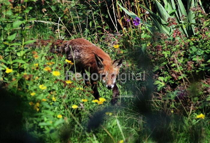 Fox prowling through long grasses. - Paul Carter - 2001-06-20