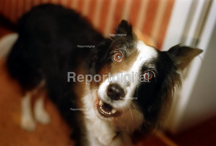 Dog barking by the front door at home. - Paul Carter - 2003-01-15