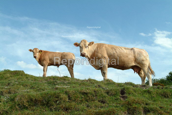 Two cows looking down hillside. - Paul Carter - 2003-05-04