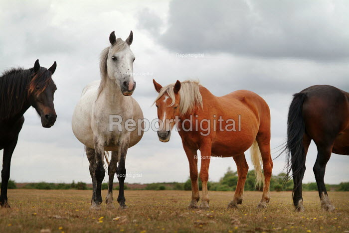 New Forest ponies on Bagshot Moor, near Norleywood, The New Forest, Hampshire, UK. - Paul Carter - 2003-08-25