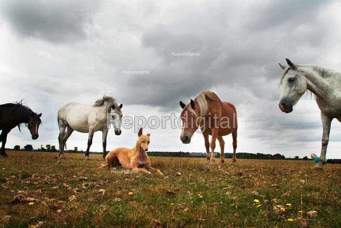 Dog being looked at by inquisitive ponies. New Forest ponies on Bagshot Moor, near Norleywood, The New Forest, Hampshire, UK. - Paul Carter - 2003-08-25