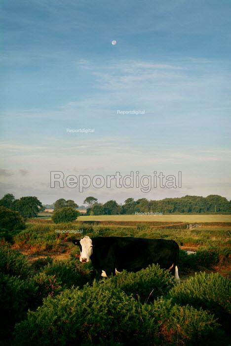 Cow in the gorse of The New Forest. - Paul Carter - 2003-10-09