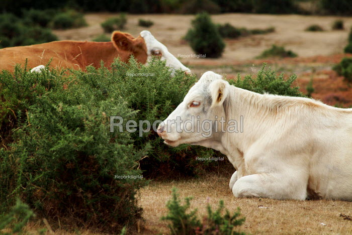 Cows sitting in the gorse of The New Forest. - Paul Carter - 2003-10-09