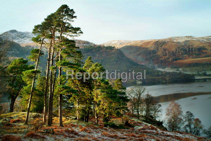 Tall Scots Pine trees on the banks of Ullswater, The Lake District - Paul Carter - 2003-12-30