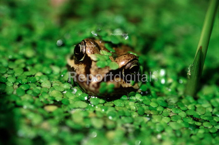 Frog keeping cool in a pool, amongst pond weed. - Paul Carter - 2004-09-16