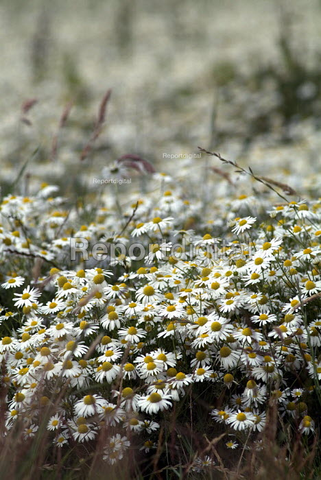 A field of Scentless Mayweed (Matricaria maritima). - Paul Carter - 2004-07-31