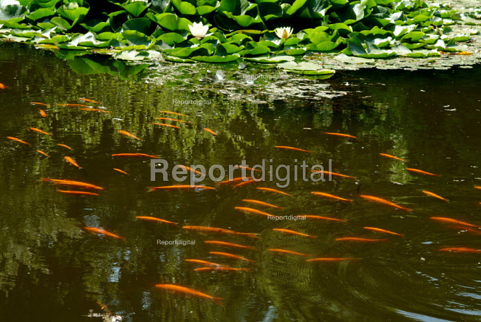 Bright orange goldfish swimming close to the surface of a pond. - Paul Carter - 2004-09-17