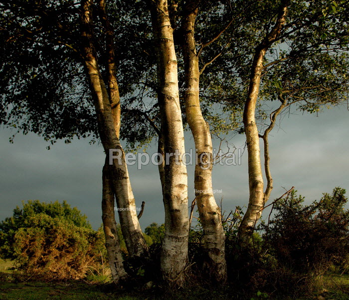 A clump of birch trees.  Pilley, nr Lyndhurst, New Forest, Hampshire. - Paul Carter - 2005-05-29