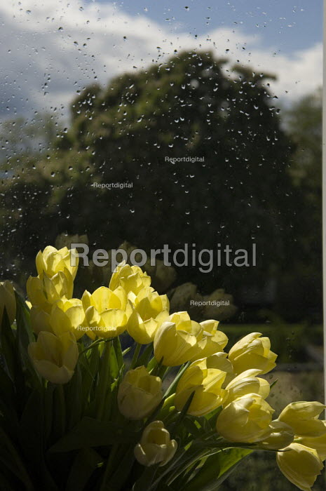 Sunlight falling on a bowl of yellow tulips, in front of a... - Paul Carter, JP991987.jpg