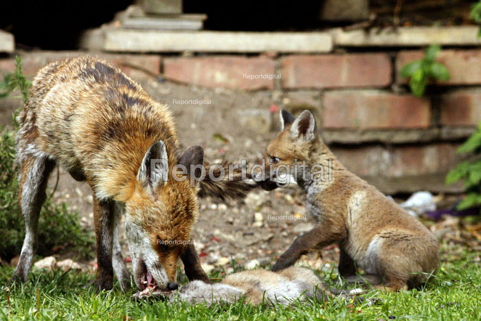 A fox cub playing with its mothers bushy tail as she eats her offspring in a residential back garden. London - Justin Tallis - 2010-05-17