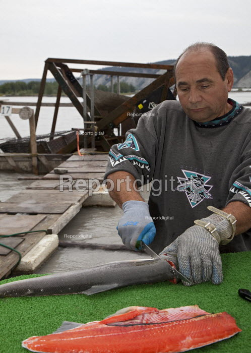A man fillets a wild red salmon, caught on his fishwheel on the Copper River or Ahtna River. The use of fishwheels in Alaska is restricted to subsistence fishing, USA. - Jim West - 2009-08-08