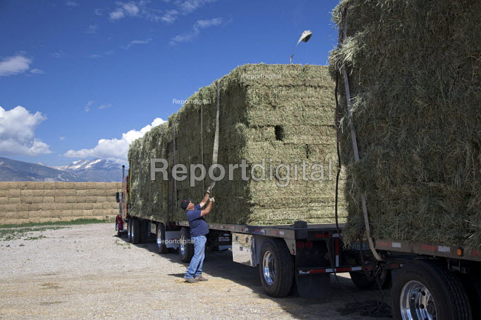 Worker loading hay bales from a ranch onto a triple trailer. Nevada USA - Jim West - 2011-07-05