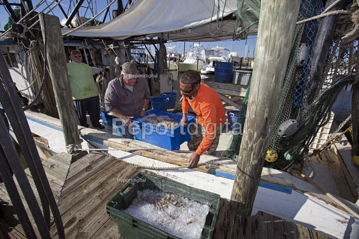 Mobile, Alabama - A shrimp trawler unloads its catch after a day of fishing on Mobile Bay. The trawler is part of the Alabama Fisheries Cooperative. - Jim West - 2012-11-08