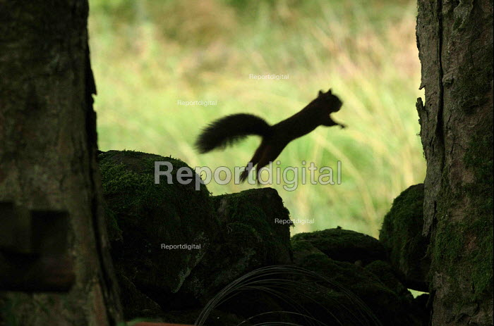 A red squirrel in the back garden of a house in Kielder Forest, Northumberland. Kielder is one of the few places left in Britain with a population of red's and the concern is to manage the forest in such a way as to deter grey squirrels as far as possible. - Mark Pinder - 2003-09-19