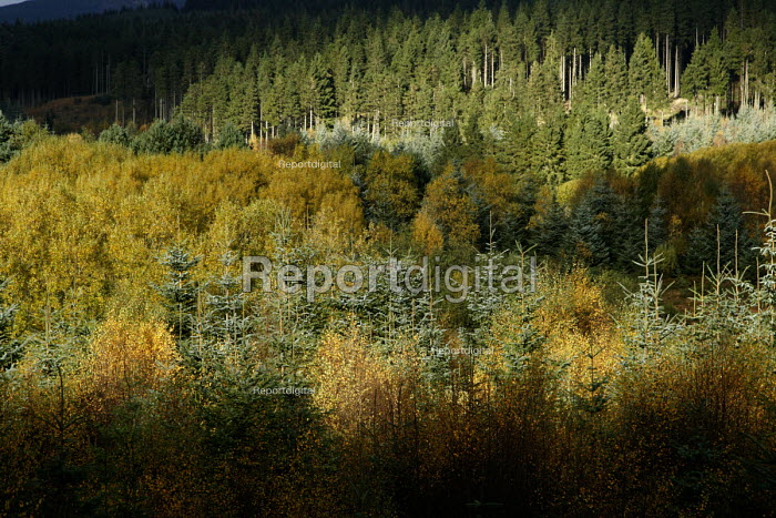 Autumn colours in the trees at Kielder Forest, Northumberland. Britain's largest forest. - Mark Pinder - 2006-10-31