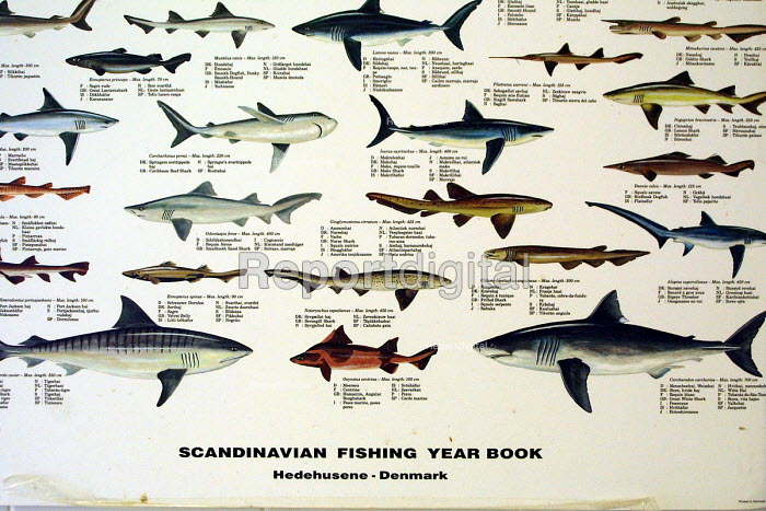 Poster of Scandinavian Fishing year book of fish species found in the North sea. Wet fish shop, North Shields fish quay. 28/5 2002 - Mark Pinder - 2002-05-28