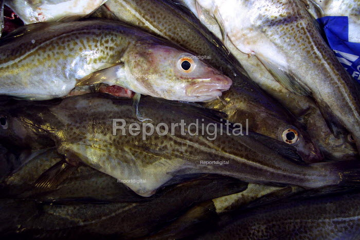Codling at a wet fish shop, North Shields fish quay. - Mark Pinder - 2002-05-28
