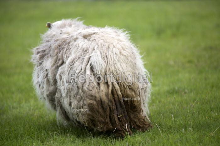 A wooly sheep , Bethesda, North Wales. - Paul Box - 2013-08-12