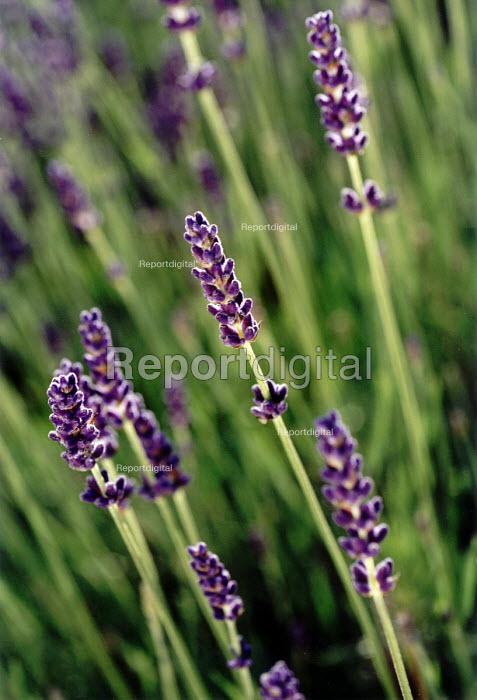 Lavender flower - Paul Box - 2001-06-25
