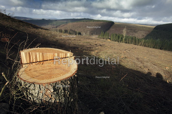 Afan forest, South Wales. Phytophthora ramorum - a devastating fungal pathogen - is causing widespread damage to trees in the UK. A cleared field of Larch and a stump of a larch tree. - Paul Box - 2011-02-15