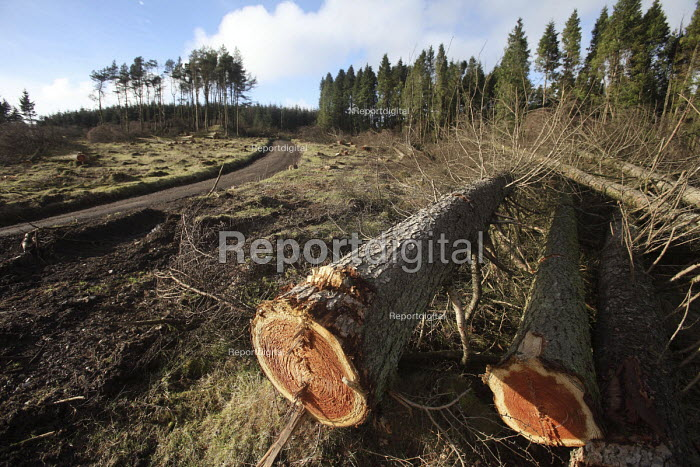 Afan forest, South Wales. Phytophthora ramorum - a devastating fungal pathogen - is causing widespread damage to trees in the UK. Felled Larch trees. - Paul Box - 2011-02-15