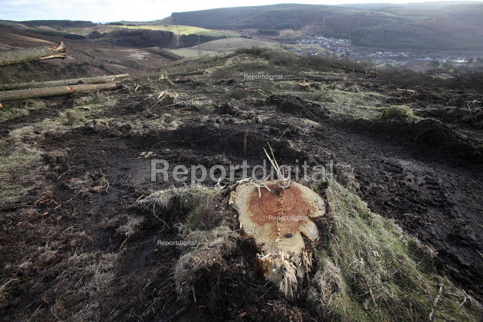 Afan forest, South Wales. Phytophthora ramorum - a devastating fungal pathogen - is causing widespread damage to trees in the UK. - Paul Box - 2011-02-15