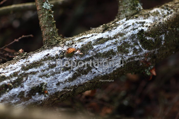 Afan forest, South Wales. Phytophthora ramorum - a devastating fungal pathogen - is causing widespread damage to trees in the UK. The first sign of the fungus on the larch bark. - Paul Box - 2011-02-15
