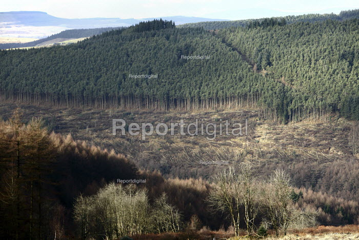 Afan forest, South Wales. Phytophthora ramorum - a devastating fungal pathogen - is causing widespread damage to trees in the UK. Felled Japanese Larch on a hillside of Douglas Fir trees with some remaining Larch trees in the foreground. - Paul Box - 2011-02-15