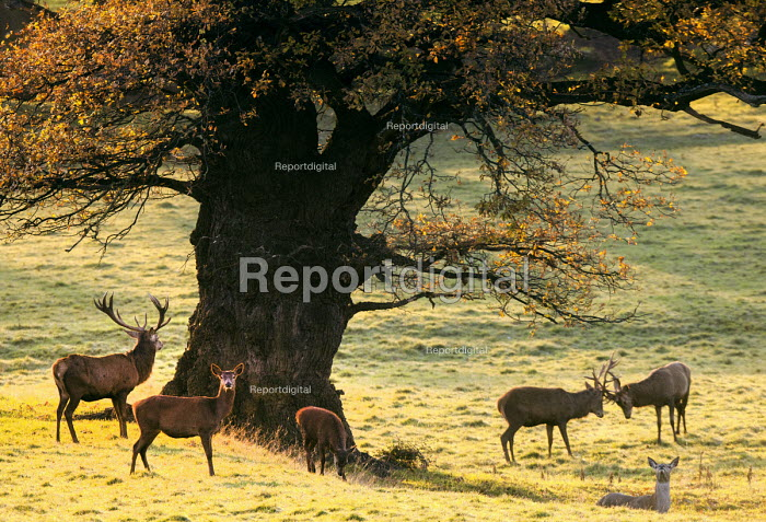 Stags with antlers rutting, Ashton Court Estate, Bristol. European Green Capital. - Paul Box - 2014-12-03