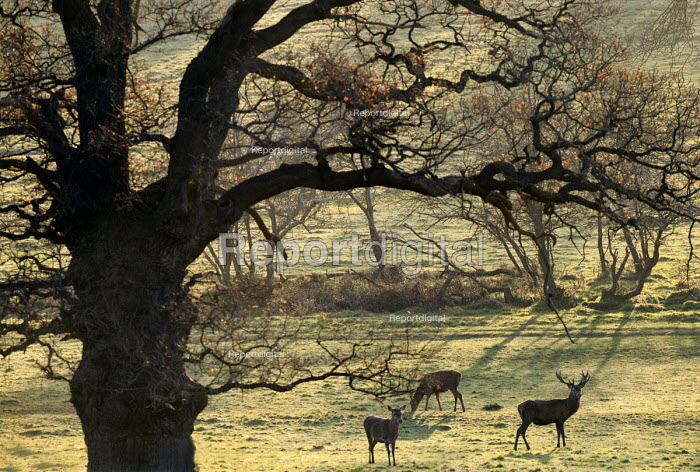 Deer, Ashton Court Estate, Bristol. - Paul Box - 2014-12-03