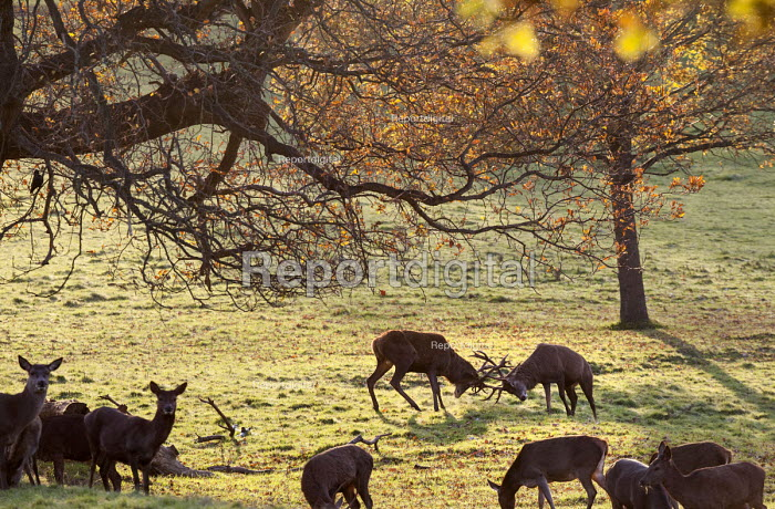 Stags with antlers rutting, Ashton Court Estate, Bristol. European Green Capital. - Paul Box - 2014-12-03