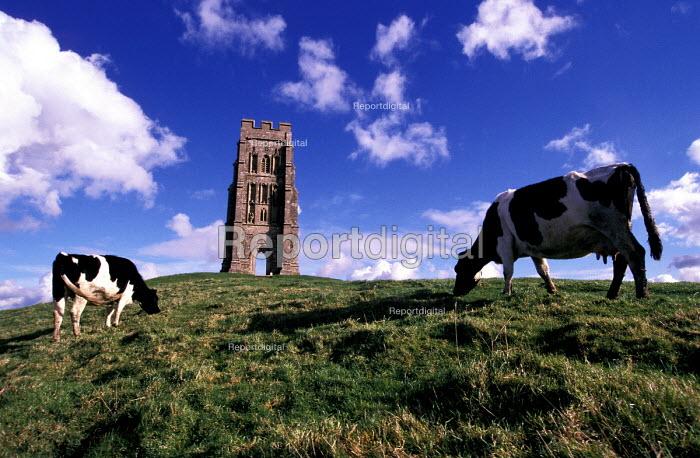 Cows grazing on Glastonbury Tor, St Michaels Church Tower - Paul Box - 2002-07-14