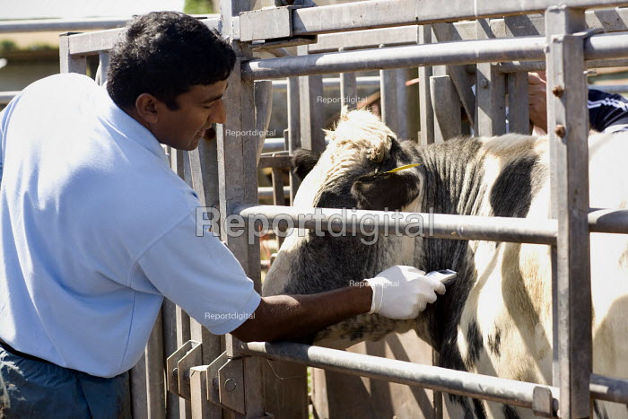 A vet carries out a Bovine TB test on beef cattle. The comparative intradermal tuberculin test with bovine and avian tuberculin is used mainly to differentiate between animals infected with M. bovis and those sensitised to tuberculin due to exposure to other mycobacteria or related genera. Delayed hypersensitivity test: This test is the standard method for detection of bovine tuberculosis. It involves measuring skin thickness, injecting bovine tuberculin intradermally into the measured area and measuring any subsequent swelling at the site of injection 72 hours later. - Paul Box - 2009-07-27