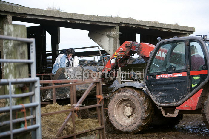 A woman farmworker feeding the cattle on a farm in Wales. - Paul Box - 2010-02-15