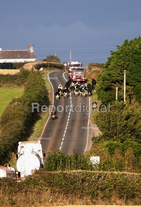 Fire engines, lorries and a motorcycle being held up as cows are crossing the road, Pembrokeshire, Wales. - Paul Box - 2009-09-30