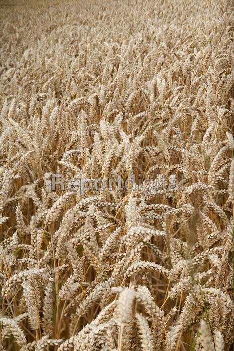 A corn field, Scotland. - Paul Box - 2008-08-10