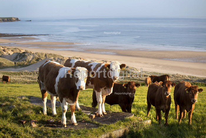 Cows in a field above Freshwater West beach. Pembrokeshire, Wales. - Paul Box - 2012-05-16