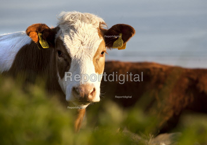 Cows in a field above Freshwater West. Pembrokeshire, Wales. - Paul Box - 2012-05-16
