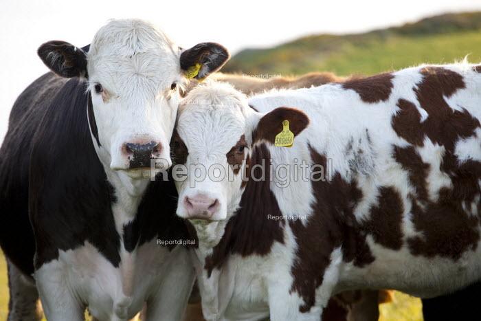 Cows in a field, Pembrokeshire, Wales. - Paul Box - 2012-05-16