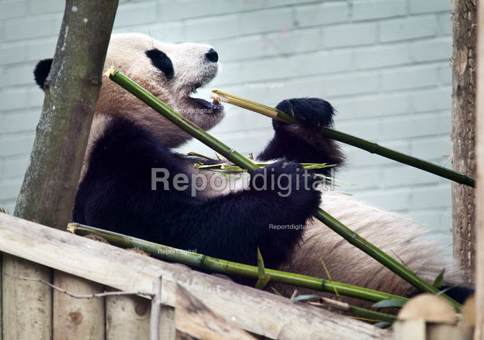 A Giant Panda (Ailuropoda melanoleuca) eating Bamboo in captivity in the enclosure at Edinburgh zoo. Scotland - Paul Box - 2012-03-14